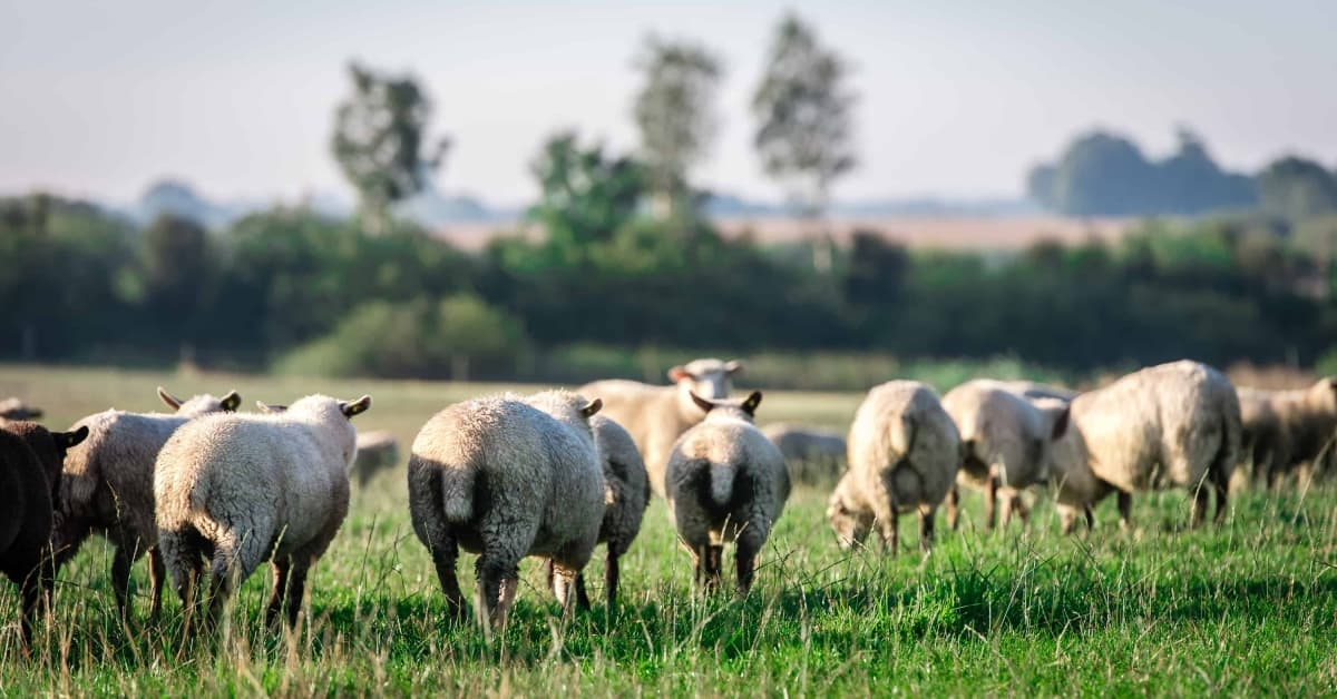 Geder, får og lam