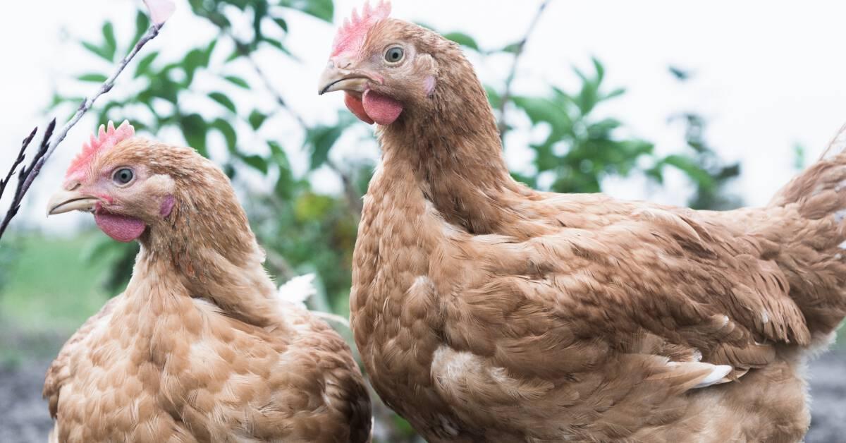 Dansk, fersk kylling